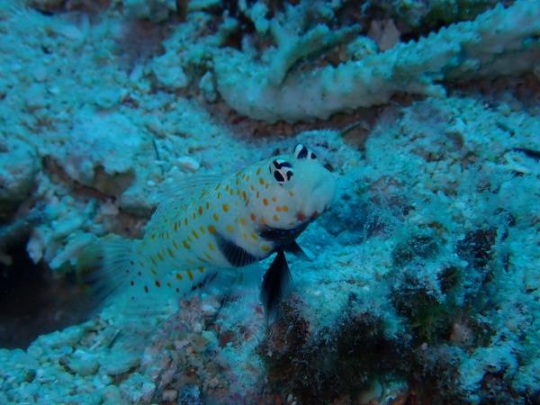 ダイビング コモドの海 ヤマブキハゼ