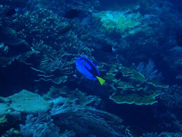 ダイビング コモドの海 ナンヨウハギ
