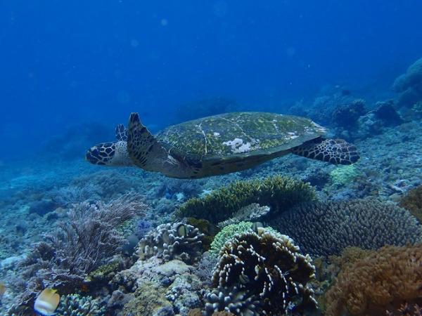 ダイビング コモドの海 ウミガメ