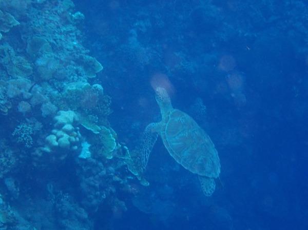 バリカサグ島 シュノーケリング ウミガメ