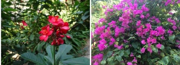 フラマリゾートダナン リゾート内のお花