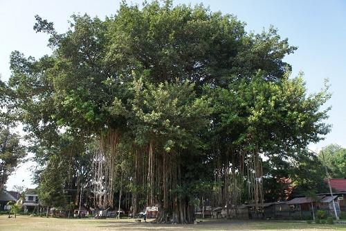 プランバナン寺院 ガジュマルの木